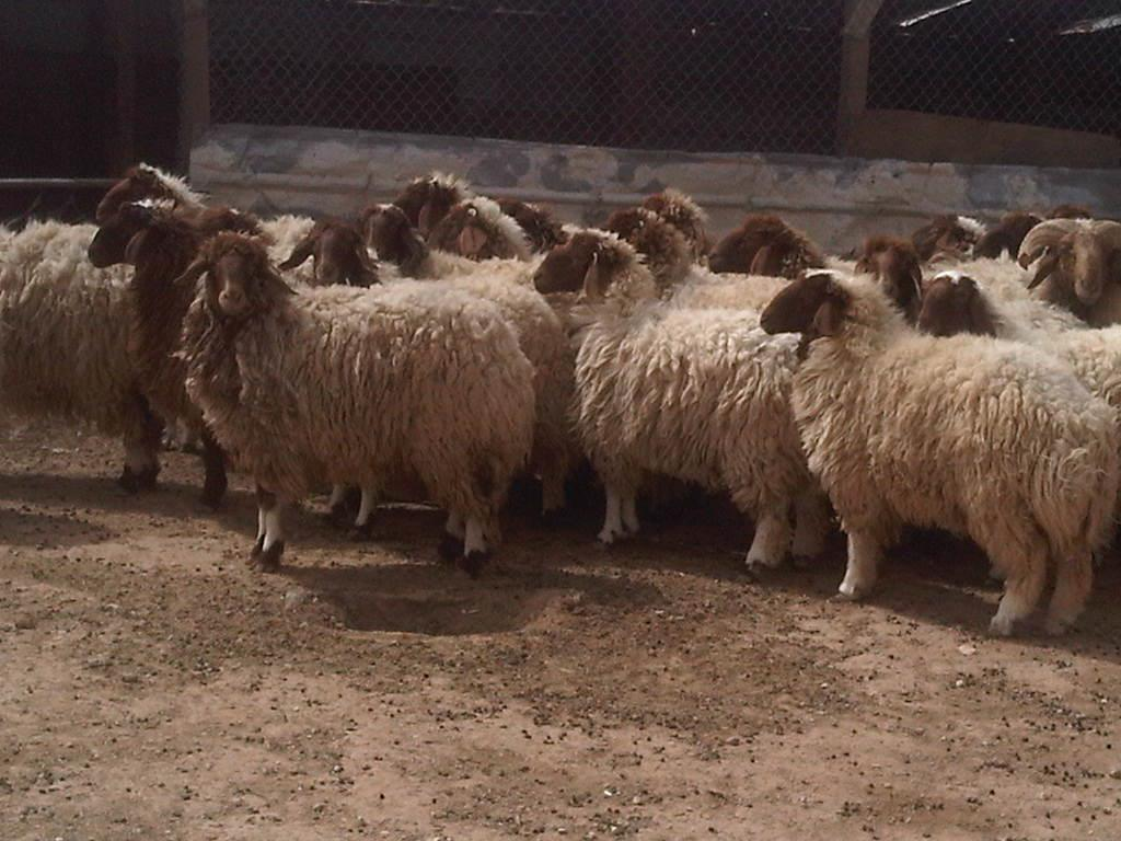 "Photo of مربو الماشية في بني وليد يكافحون ""اللسان الأزرق"" وحدهم"