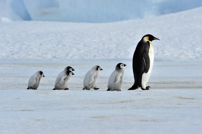 المشي كالبطريق