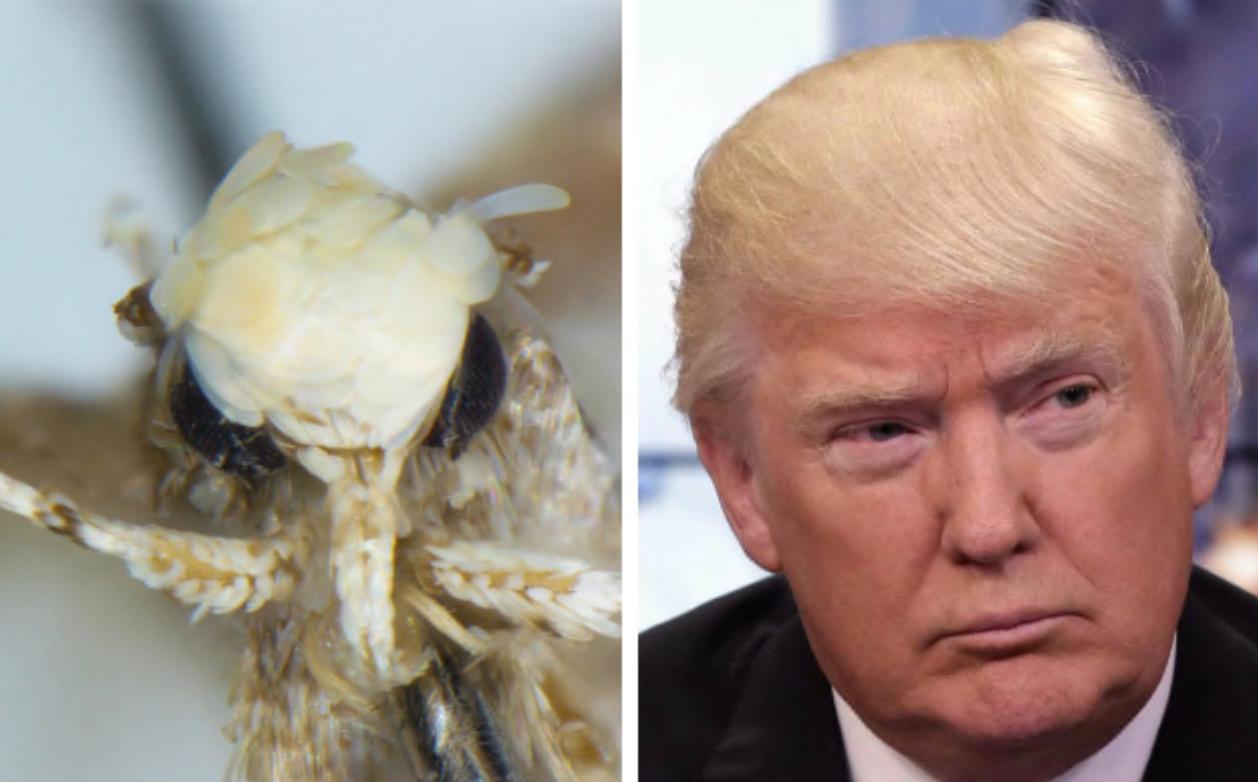 """Photo of إطلاق اسم ترامب على نوع جديد من """"حشرةالعثّ"""""""