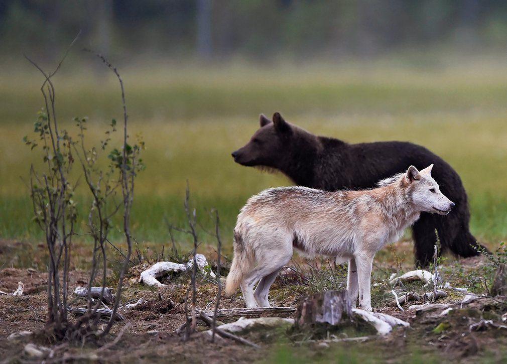 ذئب ودب