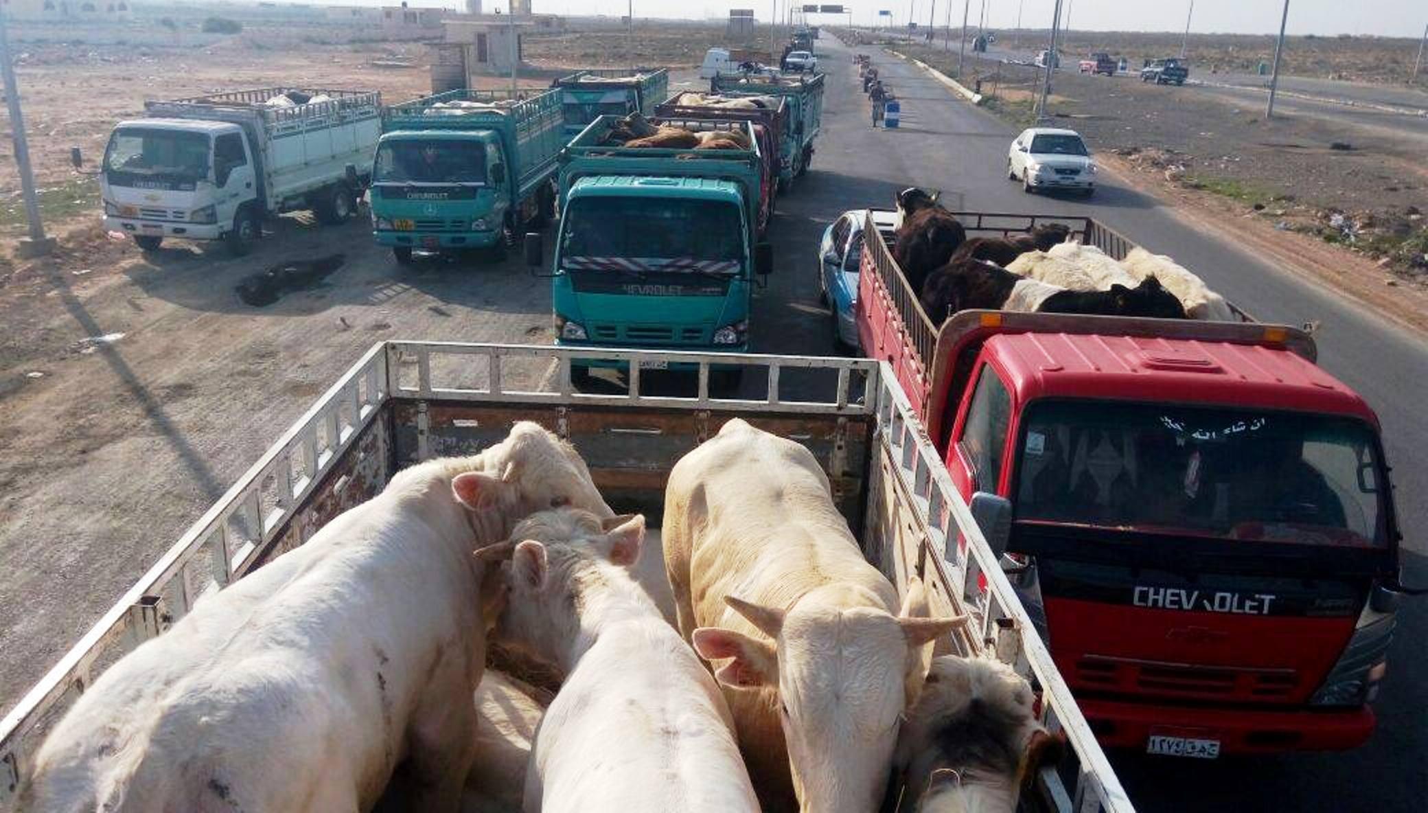"Photo of مصر تضبط ""شحنة ماشية"" يشتبه في تهريبها من ليبيا"