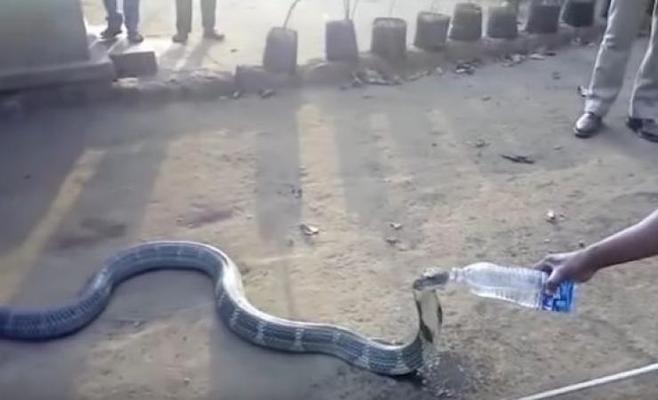 """Photo of كوبرا تتخلى عن فطرتها من أجل """"شربة ماء"""".. شاهد"""