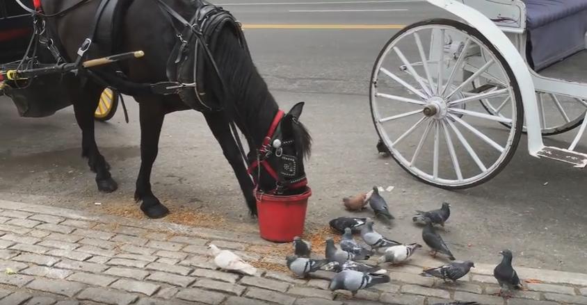 """صورة """"تصرف غريب"""" من حصان تجاه مجموعة من الحمام"""