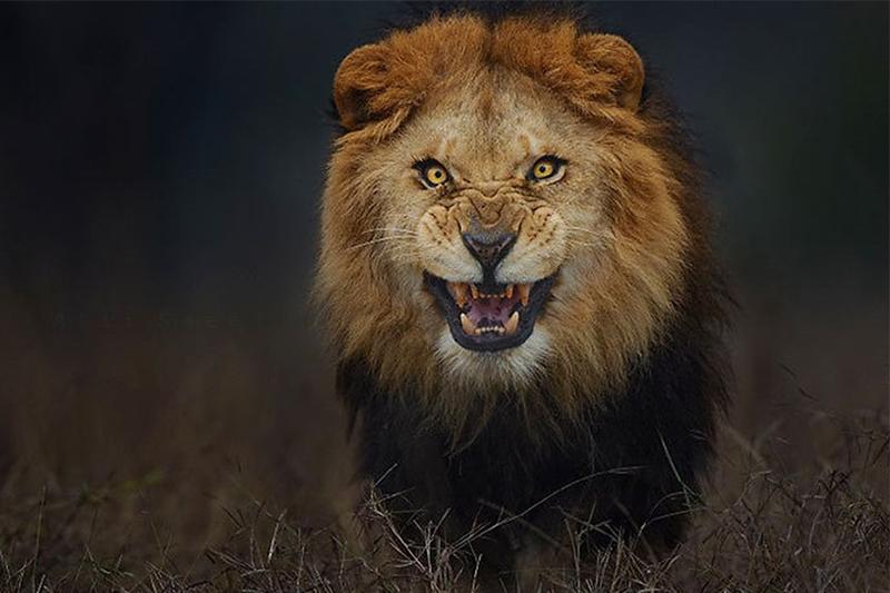 """Photo of """"لحظات مُرعبة"""".. مُدرب ينجو بأعجوبة من أنياب أسد"""