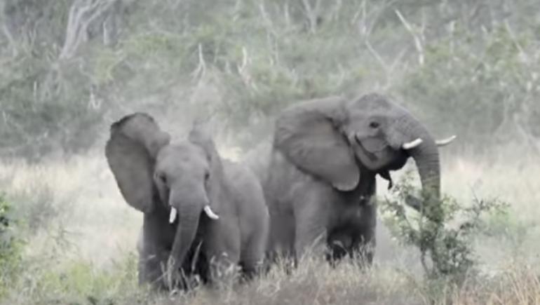 قطيع فيلة