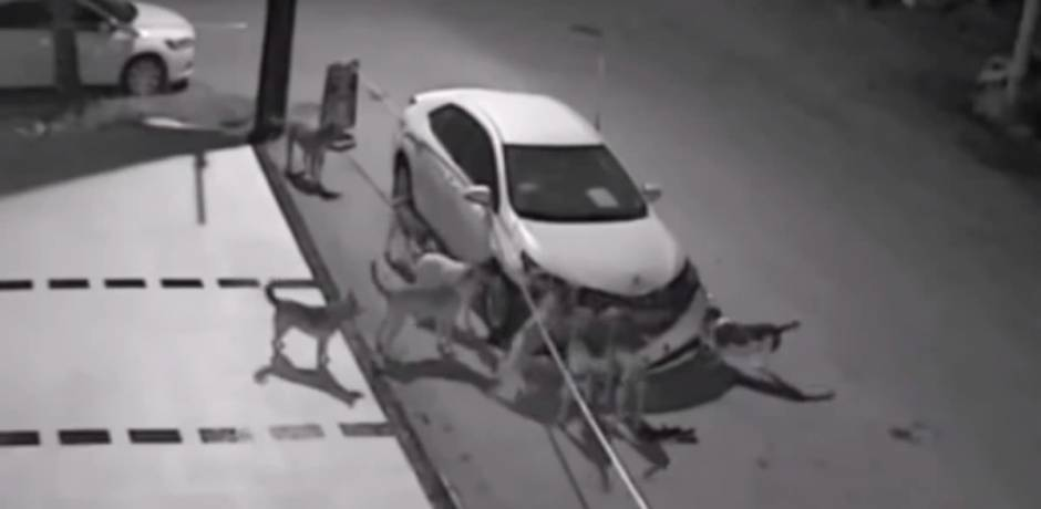Photo of كلاب تُدمّر سيارة من أجل قطة.. شاهد