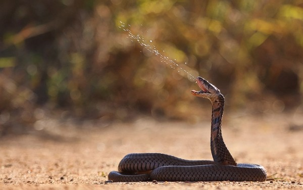 سمّ الثعابين