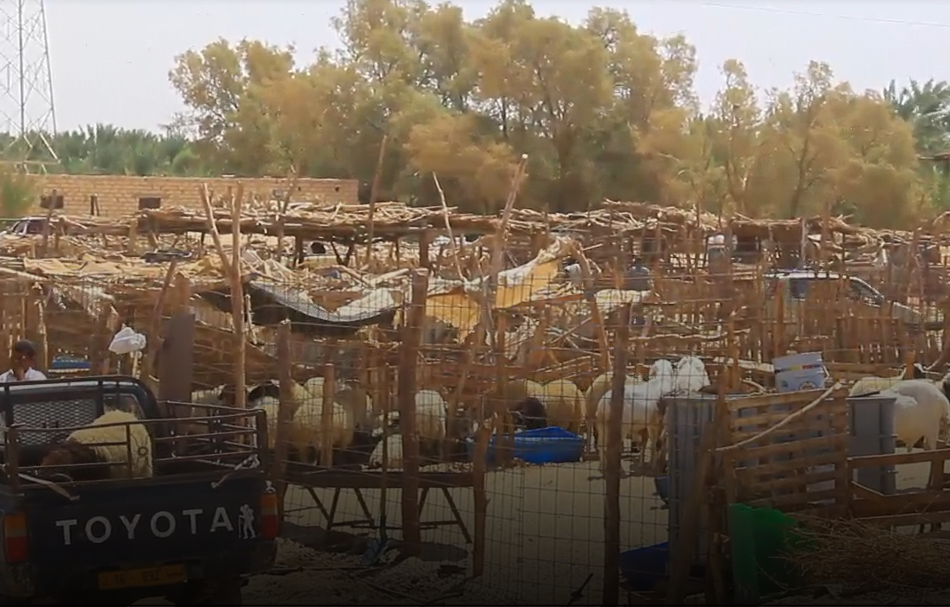 Photo of أهالي الواحات يشتكون: سعر الأضحية وصل إلى 1500 دينار