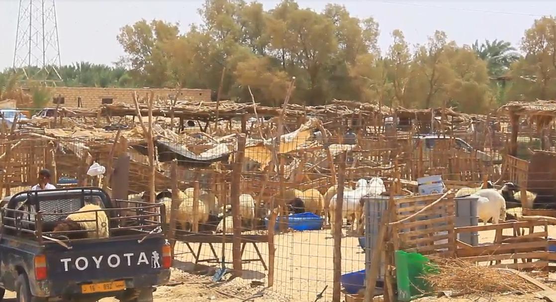 Photo of 345 ألف رأس غنم في طريقها إلى ليبيا