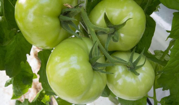 الطماطم الأخضر