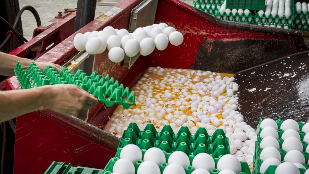 Photo of هولندا قد تعدم ملايين الدجاجات بعد تلوث بيض بمبيد حشري
