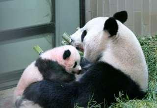 حديقة حيوان طوكيو تطلق اسم عبير على وليدة الباندا الجديدة