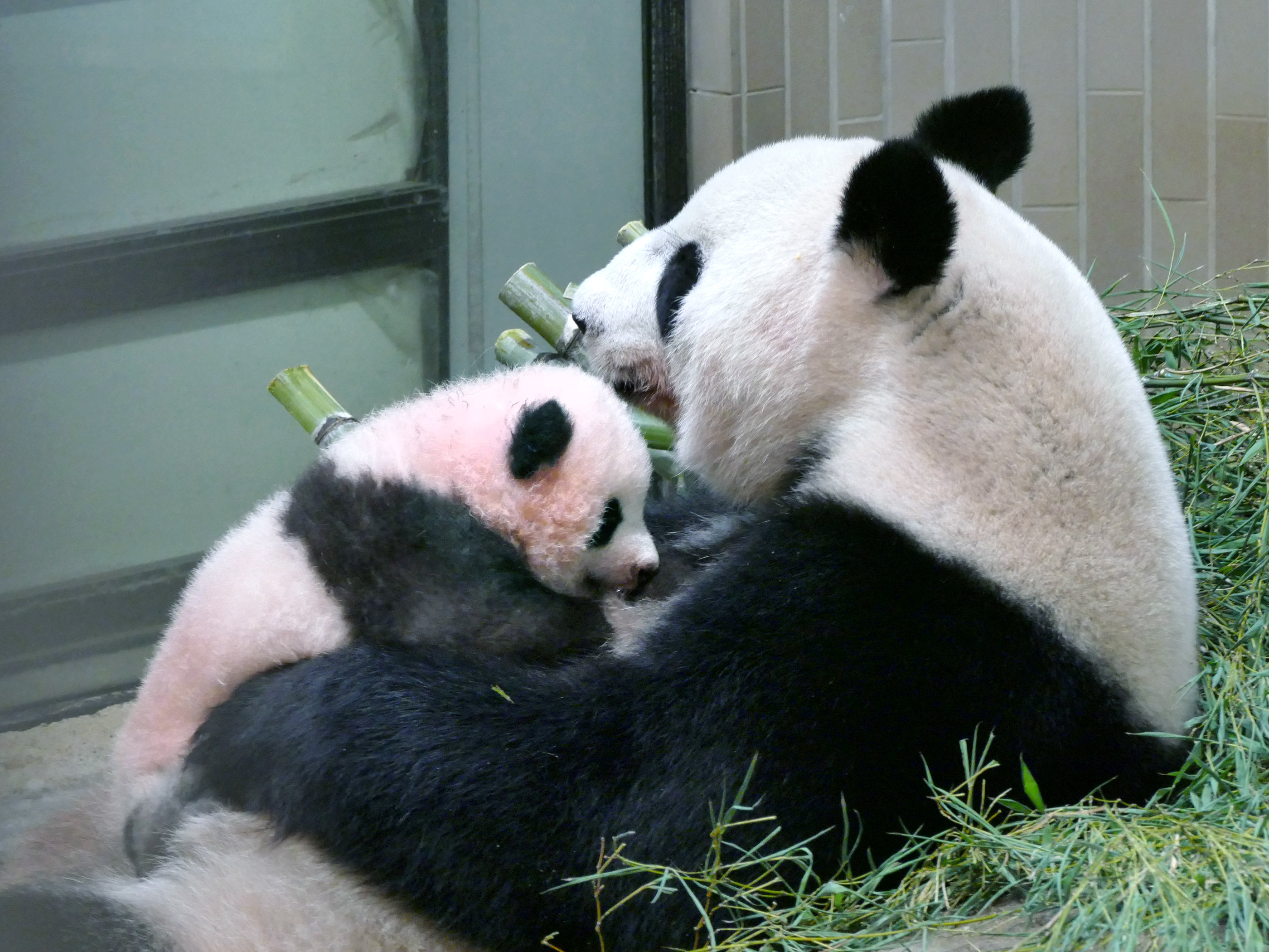 "Photo of حديقة حيوان طوكيو تطلق اسم ""عبير"" على وليدة الباندا الجديدة"