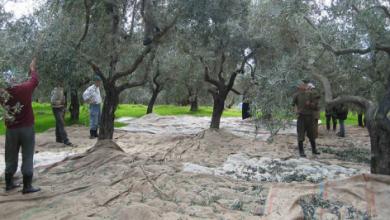 مزارعو الزيتون في لبنان