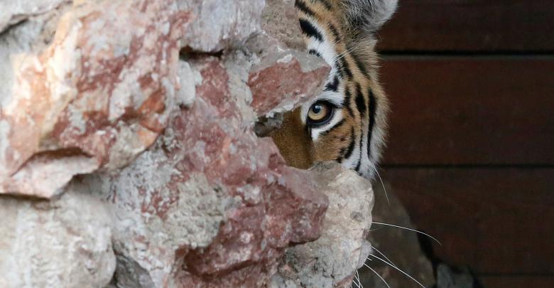 نمر سيبيري