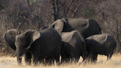 الأفيال