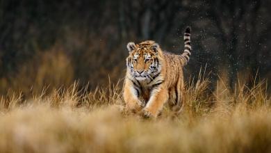 """صورة """"نمر"""" روسي مهدد بالانقراض يقدم """"صورا نادرة"""" لمسافرين.. شاهد"""