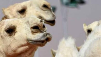 """Photo of عمليّات التجميل تصل إلى """"إبل"""" السعوديّة"""