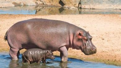 "Photo of سنغافورة تكشف عن مواليد الحيوانات ""المُهدّدة بالانقراض"""