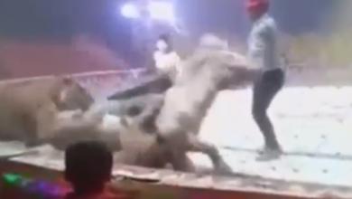 "Photo of حصان ينجو ""بأعجوبة"" من أنياب نمر وأسد.. شاهد الفيديو"