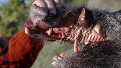 حمى الخنازير الأفريقية