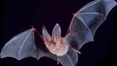 Photo of الخفافيش.. هل تكشف خفايا لإطالة عمر الإنسان؟