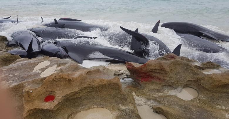 موت حيتان على شواطئ أستراليا