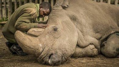 وحيد القرن الأبيض الشمالي