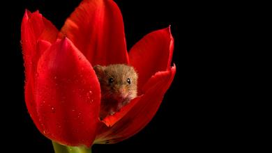 Photo of فئران وسط الزهور.. صور غريبة