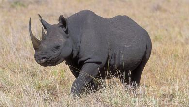 Photo of بعد غياب طويل.. وحيد القرن الأسود يعود إلى تشاد