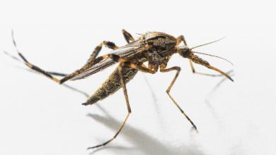 Photo of حشرة تُثير القلق بطرابلس.. وتطمينات رسمية