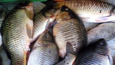 صيد_الأسماك_في_العراق