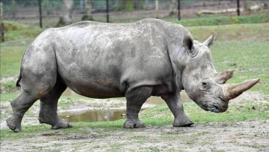 Photo of وحيد القرن الأبيض الشمالي يواجه خطر الانقراض