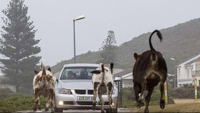 "Photo of ""أبقار جائعة"" تستنفر الشرطة في جنوب أفريقيا"