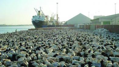 """صورة كميات """"هائلة من """"المواشي"""" وردت لميناء """"الخمس"""""""