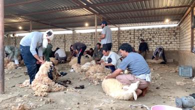Photo of بدء موسم الجلامة في بني وليد