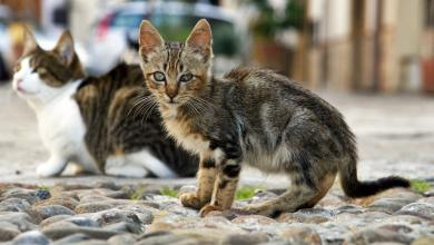 Photo of أستراليا ستقتل 2 مليون قطة.. والعالم يحتج