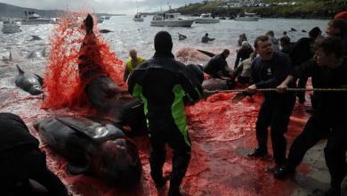 """صورة """"مجزرة الحيتان"""" تثير ضجة عالمية.. شاهد"""