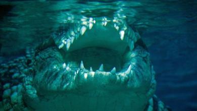 Photo of معركة قوية بين مسنيْن أستراليين وتمساح