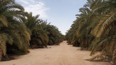 Photo of مساع لمكافحة سوسة النخيل الحمراء