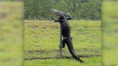 """Photo of """"تمساح رشيق"""" يتسلق سياج قاعدة أمريكية"""