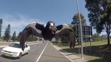"""صورة بعد حوادث مرعبة.. السلطات الأسترالية تقتل """"الطائر الشرير"""""""