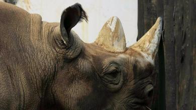 Photo of انقراض وحيد القرن السومطري بعد وفاة الأنثى الأخيرة