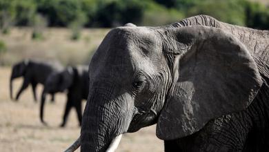 Photo of فيل ثائر يقتل 5 أشخاص في الهند