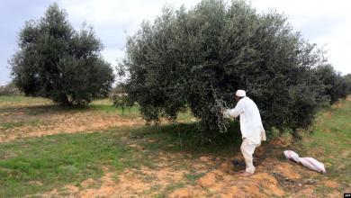 Photo of قطف الزيتون في ليبيا.. موسم الفرح للعائلات