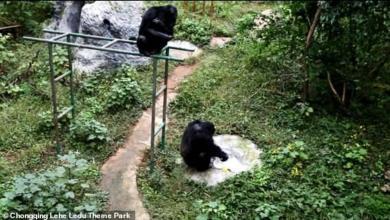 Photo of شمبانزي يغسل الثياب