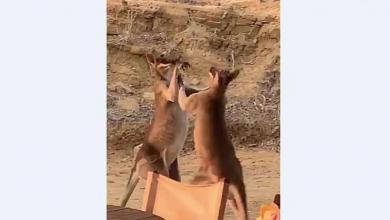 "Photo of شاهد بالفيديو.. ""معركة شرسة"" بين كنغرين"