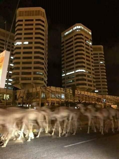 الصور المتداولة على مواقع التواصل للإبل وهو يجول في العاصمة