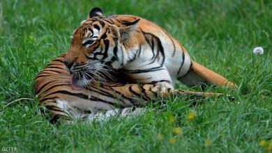 Photo of كورونا يصيب حيوانا مفترسا في أمريكا