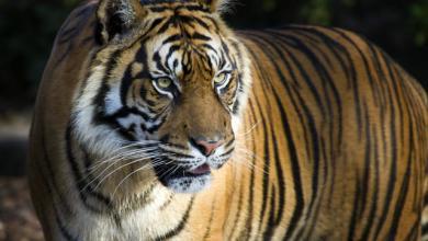 """صورة الهند تحبس """"النمر الشرير"""" مدى الحياة"""